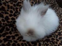 Double main lionhead himi female