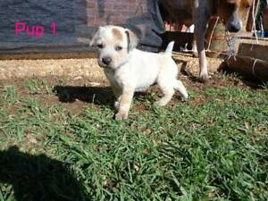 Cattle Dog Pups