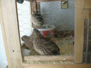 Quail For Sale | Kijiji in Ontario  - Buy, Sell & Save with