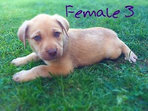 ❤️Lab Mix Pups❤️Healthy❤️Vaccinated❤️Payment Options❤️