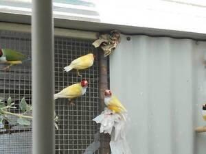 Gouldian finches, Single factor, Yellows W/B Seaford Frankston Area Preview