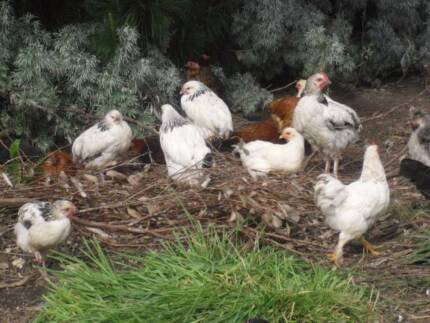 Bantams - Various colours and sizes Birdwood Adelaide Hills Preview