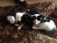 4 kittens for sale READY TO GO £50