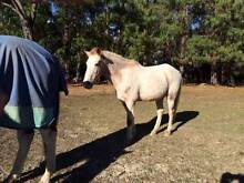Palouse Pony Gelding Buxton Wollondilly Area Preview
