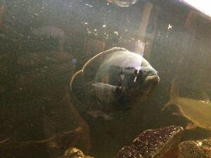 Big, Healthy Tropical Fish
