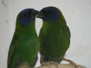 Blue headed parrot finches