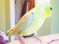 SUMMER SPECIAL ON HAND FED & HAND TAME BABY PARROTLETS