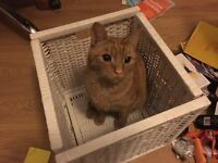 Ginger and white striped cat missing