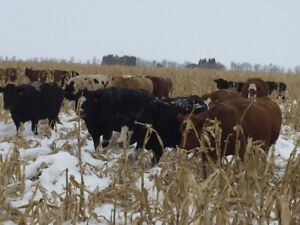 35 bred cows
