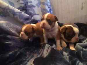 Boston Terrier PUPPIES    Ready for late MAY