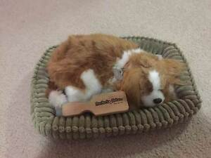 Perfect Petzzz Cavalier King Charles Wollongong Wollongong Area Preview