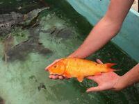 Pond Clearance - Koi Carp and Ghost Carp - Pond Fish