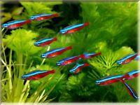 CARDINAL TETRAS TROPICAL FISH