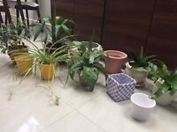 Indoor house plants and plant pots. Collect from Fulham. Prices from £1.50