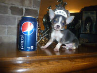 MALE CHIHUAHUA T-CUP ** 1 LIVRES ** FEMELLE AUSSI DISPONIBLE