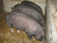 porc,cochon berkshire