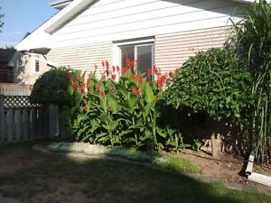 Red Canna Lily bulbs