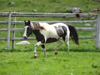 paint horse for sale to good home payments accepted