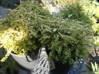 Lonicera Nitida Gold Plants- Collection Wellington