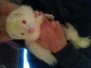 2 female Ferrets for rehoming adoption fee applies