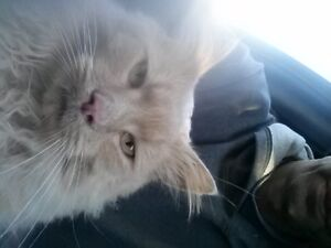 long haired orange /blond cat found by capilano mall