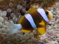 Large australian clownfish pair for sale