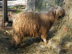 GREAT  INVESTMENT OPPORTUNITY FOR COLORED ANGORA GOAT HERD