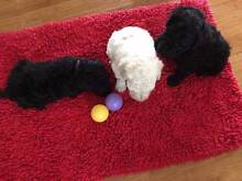 Standard Poodle Puppies - Ready for Christmas! Caboolture Caboolture Area Preview