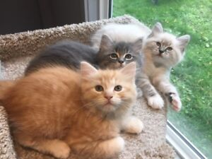CUTE HALF RAGDOLL KITTEN - REDUCED, ONE REMAINING