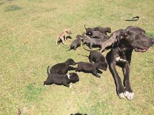 Bull Arab x Great Dane Puppies Mount Perry North Burnett Area Preview