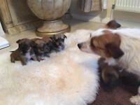 Yorkshire terrier cross jack Russel puppies