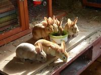 Red Rex Rabbits for sale. York