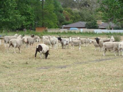 dorper and many other breeds of lamb and sheep for sale Cobbitty Camden Area Preview