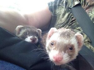 Looking to give your ferret a forever loving home