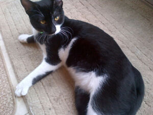 Lost black and white cat in southeast Barrie