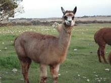 2 Alpaca Guards/Lawn Mowers Tintinara The Coorong Area Preview