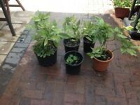 Joblot of spotted Laurel plants