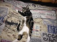 Female kitten £50 ono