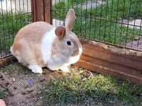 Bonded Pair of Female Rabbits 7mo and 3yrs old