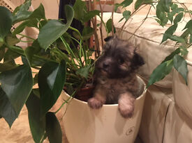 CHORKIE PUPPIES FOR SALE £490
