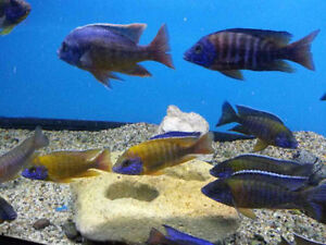ASSORTED AFRICAN CICHLIDS PEACOCKS
