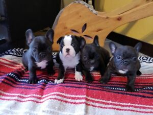 Frenchton Puppies