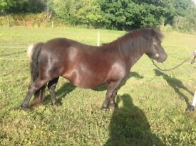 Standard Shetland Pony Mare