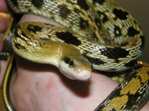 Male Taiwan/Taiwanese Beauty Rat Snake For Sale!!!