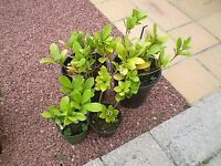 LAUREL PLANTS