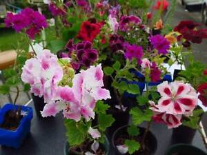 Plants Potted potplants ornamental flowering flowers West Hobart Hobart City Preview