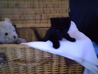 FREE MAGICAL KITTEN 10 WEEK'S OLD feeding well litter trained with starter pack SOLIHULL