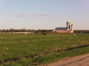 A Vendre Vaches laitiere Holsteins Cows