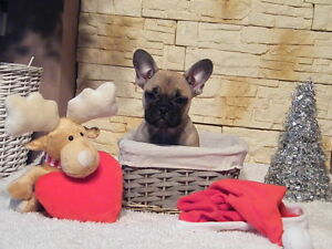FRENCH BULLDOGS EUROPEAN BLOODLINE females only