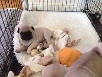fawn pug puppies ready 29/06/16 fully kc reg